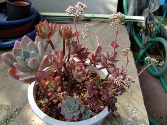 多肉植物寄せ植え~1年中吊り鉢で空中です♪クラッスラ 貴ノ花~白い花開花中♪2013.02.20