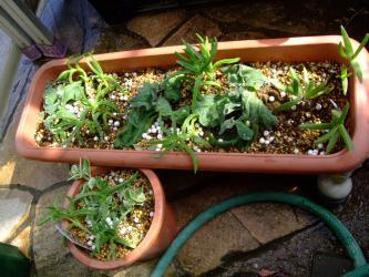葉物メセン寄せ植え~食べられる葉物メセン~アイスプランツとピンク花がキレイなカルボスローツス交互に植えつけました♪2013.02.20