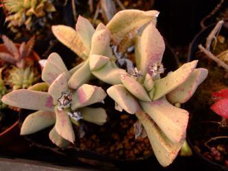 シュワンテシア トリブネリー(Schwantesia triebneri)鳥舟(とりぶね)白肌の葉~種が・・・います♪蒔かなくちゃ~♪2013.03.03