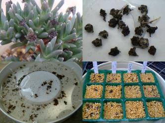 ルスキア プルビナリス(Ruschia pulvinaris)種を採って水に浸して種鞘を開かせ種を採ります♪蒔いて1週間ですが・・・まだ発芽しません(´ヘ`;)2013.03.11