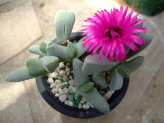 ケイリドプシス 春意玉(しゅんいぎょく)(Cheiridopsis purpurea)やっと~咲きました♪濃い花色~2013.03.05