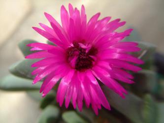 ケイリドプシス 春意玉(しゅんいぎょく)(Cheiridopsis purpurea)明るい晴れた日のお昼過ぎ~やっと~咲きました♪濃い花色~2013.03.05