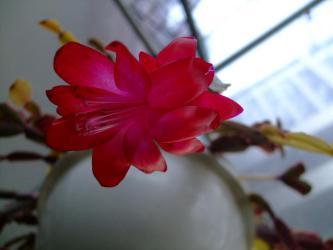 蟹葉サボテン(Schlumbergera bridgesii)シュルンベルゲラ ブリジシー斑入り種~一輪しか・・・咲きません(´ヘ`;)2013.03.08