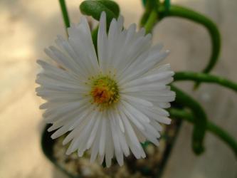 モニラリア オブコニカ (Monilaria obconica) ・・・何の変哲も無い白いお花~♪2013.03.10