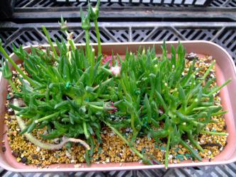 マツバギクのムッチリ版~の様な~ケファロフィルム (Cephalophyllum)キラキラ星ピンクの花芽が・・・無いです!(´ヘ`;)見事にナメちゃんに食いっ散らかされています・・・2013.03.18