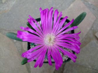 ギバエム 碧玉(へきぎょく)(Antegibbaeum(アンテギバエウム) = Gibbaeum fissoides)巨大なピンク花開花中~3日目♪径8cmくらいあります♪2013.03.21