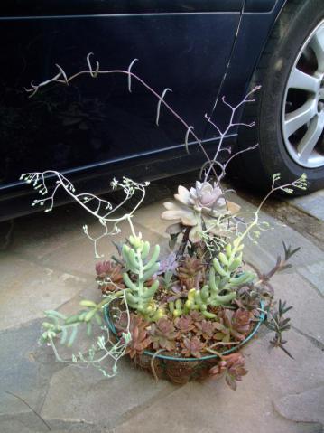 セダム アラントイデス(Sedum allantoides) 長いコン棒状葉タイプ~長い花茎が踊っています♪2013.03.25