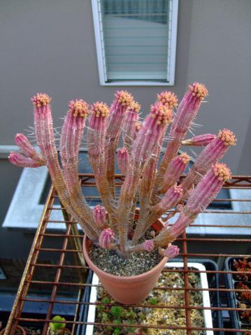 ユーフォルビア 白樺キリン(Euphorbia mammillaris cv.'Variegata')1年中外で大丈夫です♪今年もカラフル開花中~♪2013.03.29