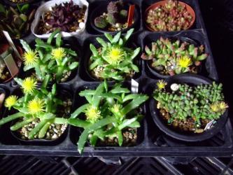 ストマチューム 浮舟(うきふね) (Stomatium peersii)&ネオヘンリシア 姫天女(ひめてんにょ)(Neohenricia sibbettii)夜9時~姫天女も浮舟も開いて咲いています♪2種とも夜咲く芳香花~とっても良い香り~♪20