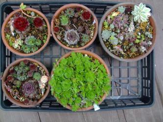 2012年春に作ったセンペル寄せ植え~生き残りです。最近赤い良い色が出てきました♪2013.03.26