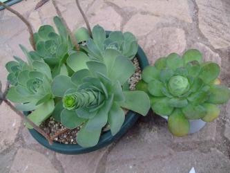 左:グリーノビア オーレア(玉姫椿)(Greenovia aurea)、右:グリーノビア ディプロキクラ(Greenovia diplocycla) スペイン原産(La Gomera島 Valle Gran Rey産) タイプ違い~両方とも花芽~♪2013.03.27