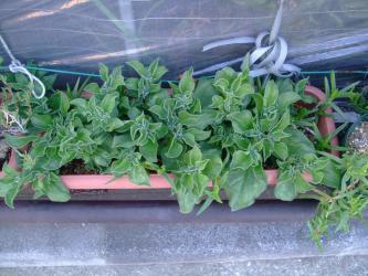 アイスプランツがシゲシゲ茂る~になってきました~♪塩水あげてないから塩っぱくな~い♪2013.03.29