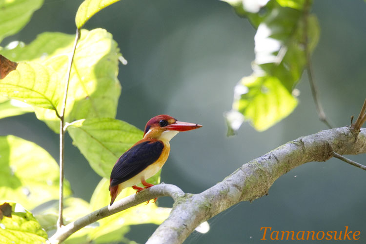 Black_Backed Kingfisher_1