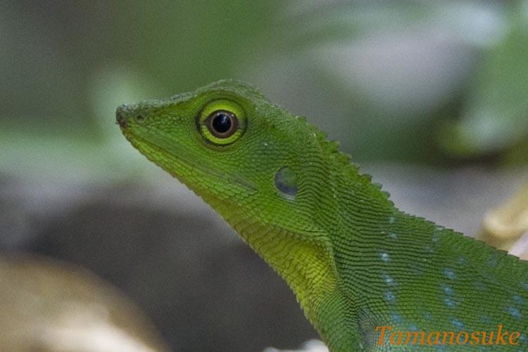 Green Crested Lizard 2