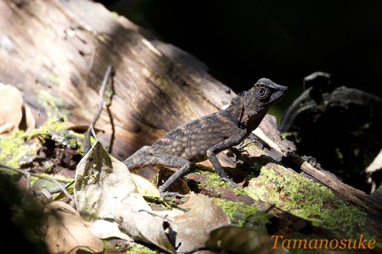 Bornean Anglehead Lizard 1