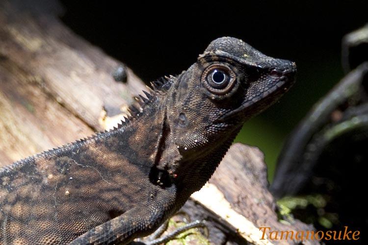 Bornean Anglehead Lizard 2