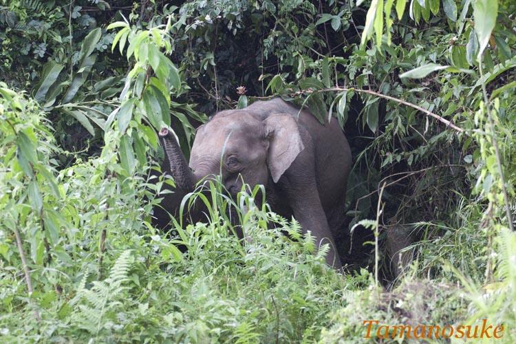 Borneo elephant a