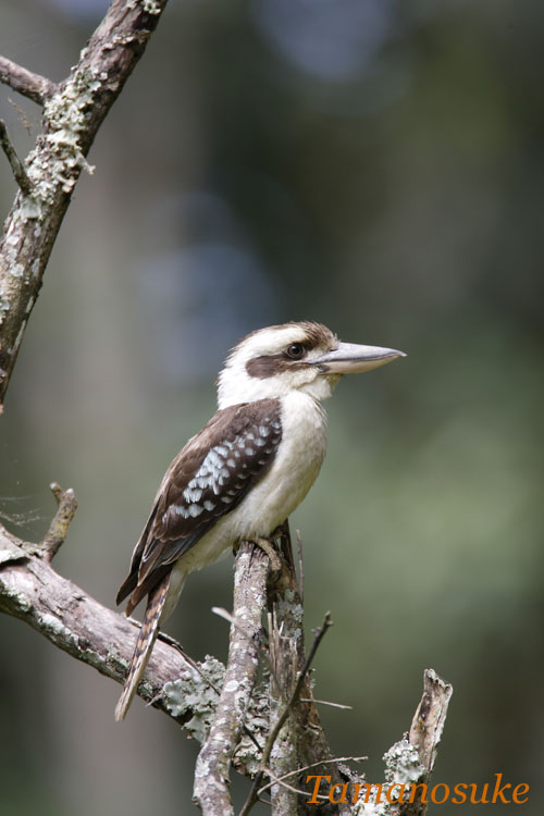 Laughing_Kookaburra_1