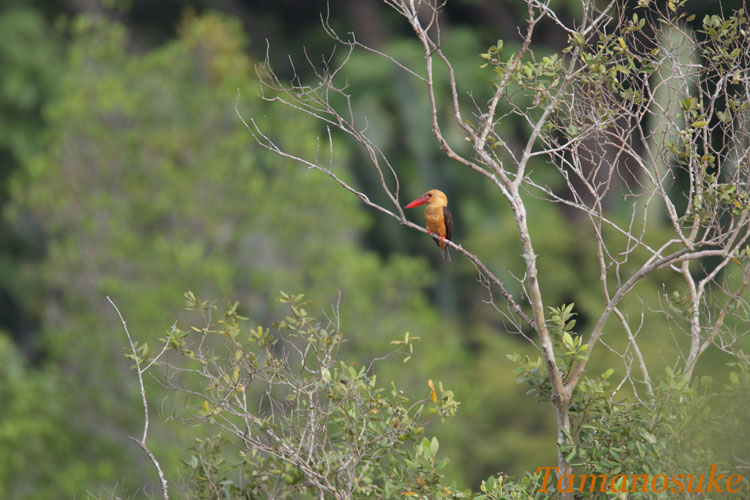 Brown_winged_Kingfisher_3