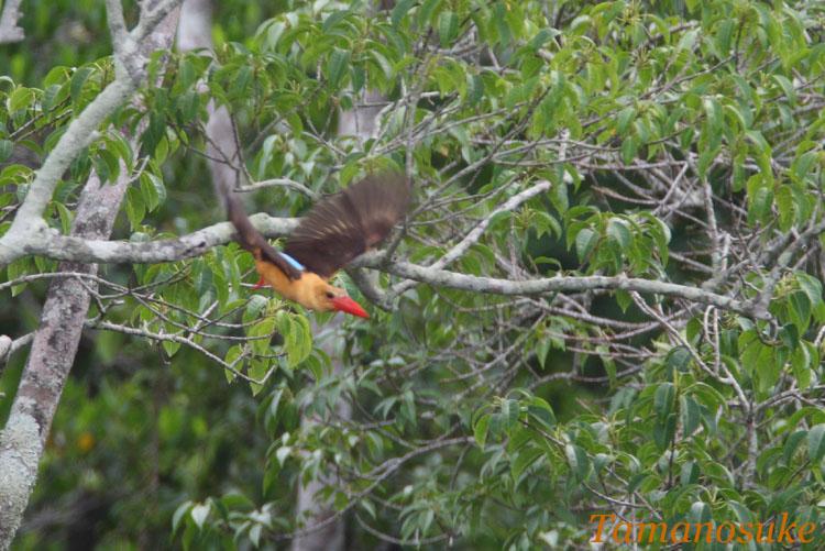 Brown_winged_Kingfisher_4