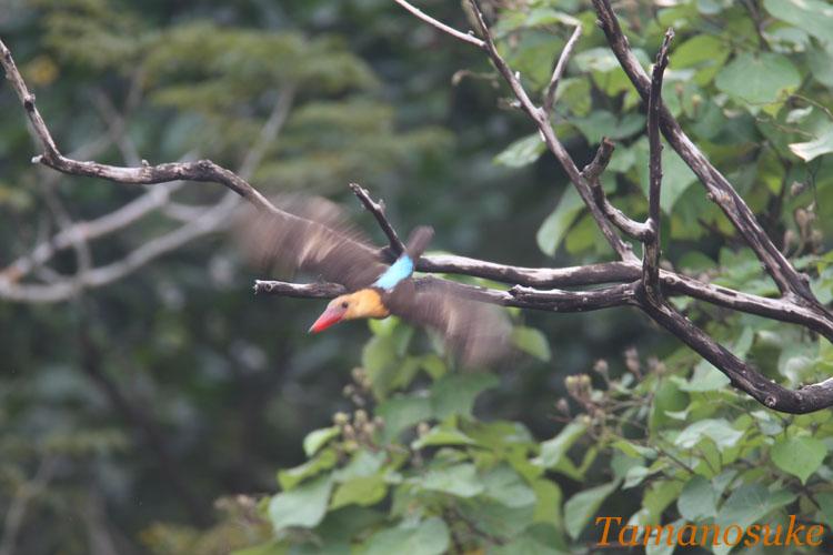 Brown_winged_Kingfisher_5
