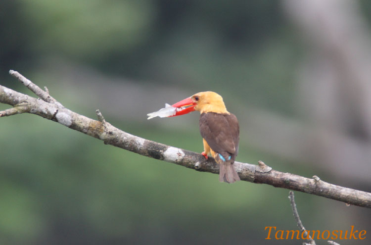 Brown_winged_Kingfisher_6