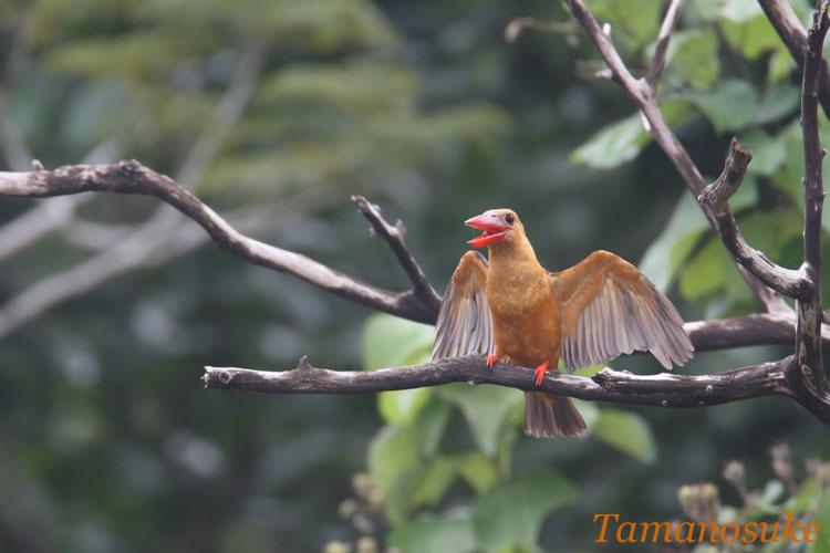Brown_winged_Kingfisher_7