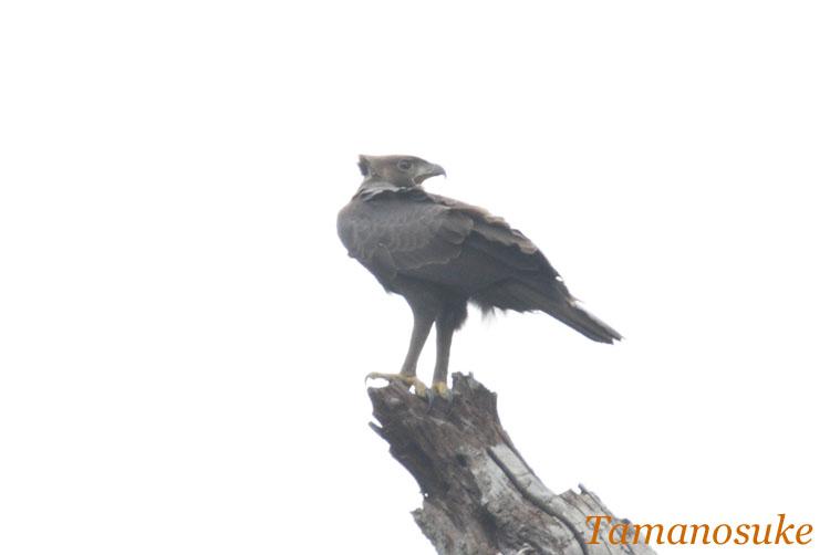Changeable_Hawk_Eagle_2