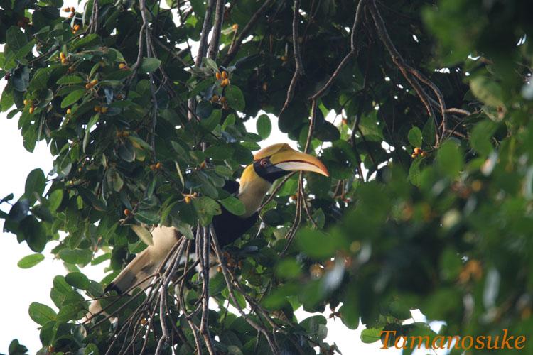 Great_Hornbill_2