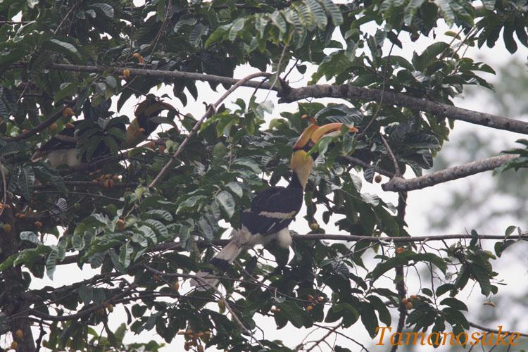 Great_Hornbill_5