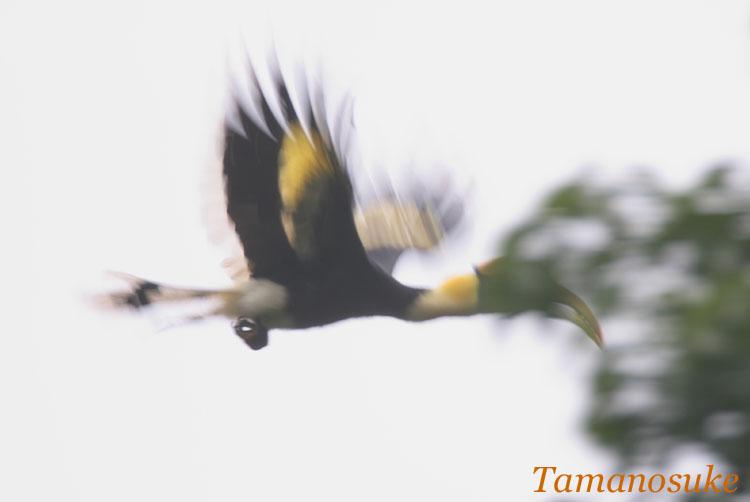 Great_Hornbill_7