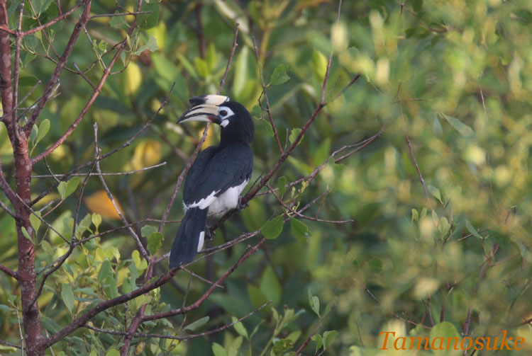 Oriental_Pied_Hornbill_2