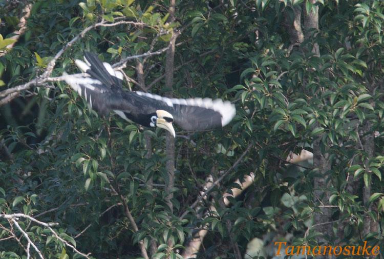 Oriental_Pied_Hornbill_3