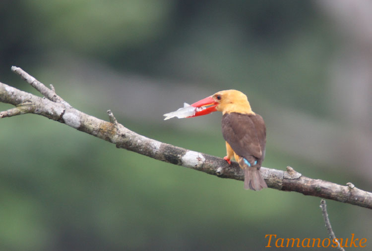 Brown_winged_Kingfisher_10