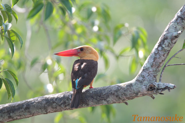 Brown_winged_Kingfisher_11