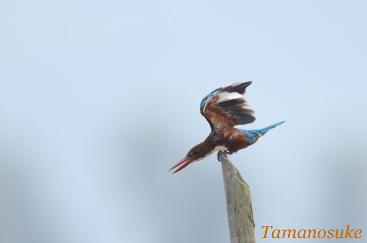 White_throated_Kingfisher_4