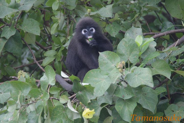 Dusky_leaf_monkey_1