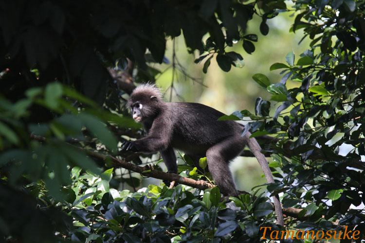 Dusky_leaf_monkey_2