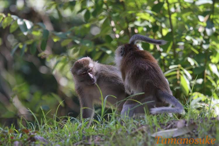 Crab_eating_macaque_1