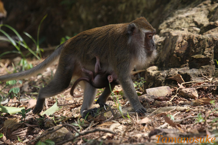 Crab_eating_macaque_2
