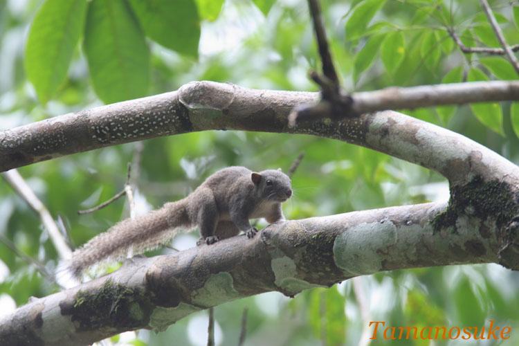 Pallas's_squirrel_1