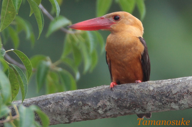 Brown_winged_Kingfisher_12