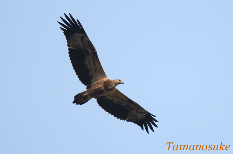Oriental_Honey_buzzard_1