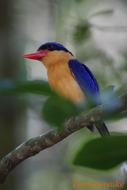 Tamanosuke -Buff_breasted_Paradise_Kingfisherr_11