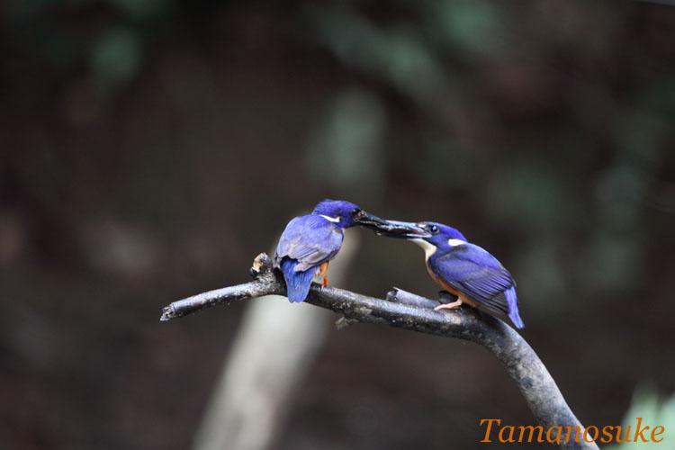 Tamanosuke -Azure_Kingfisher_11