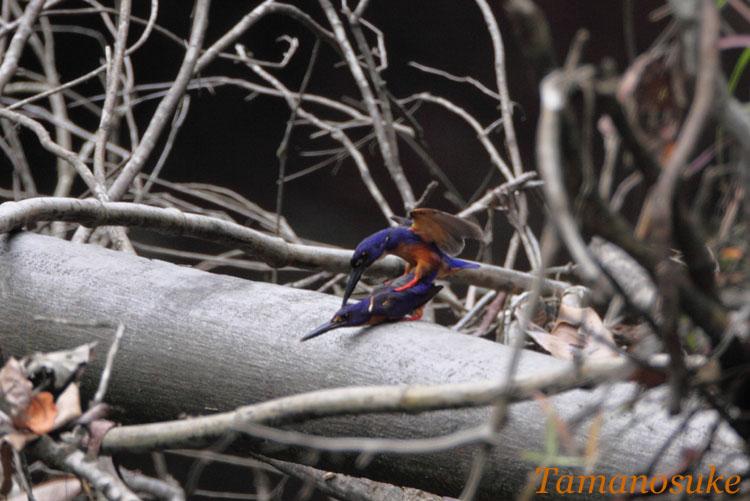 Tamanosuke -Azure_Kingfisher_13