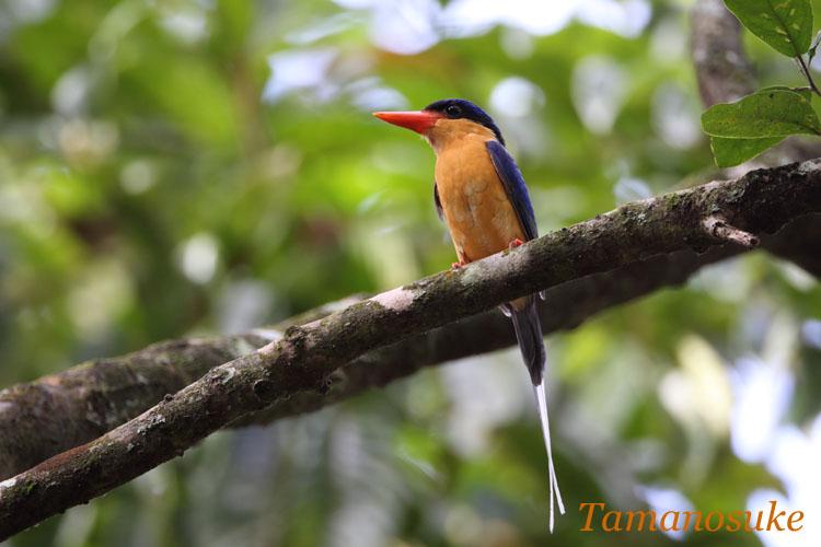 Tamanosuke -Buff_breasted_Paradise_Kingfisherr_50