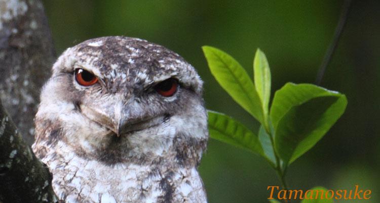 Tamanosuke -Papuan_Frogmouth_20
