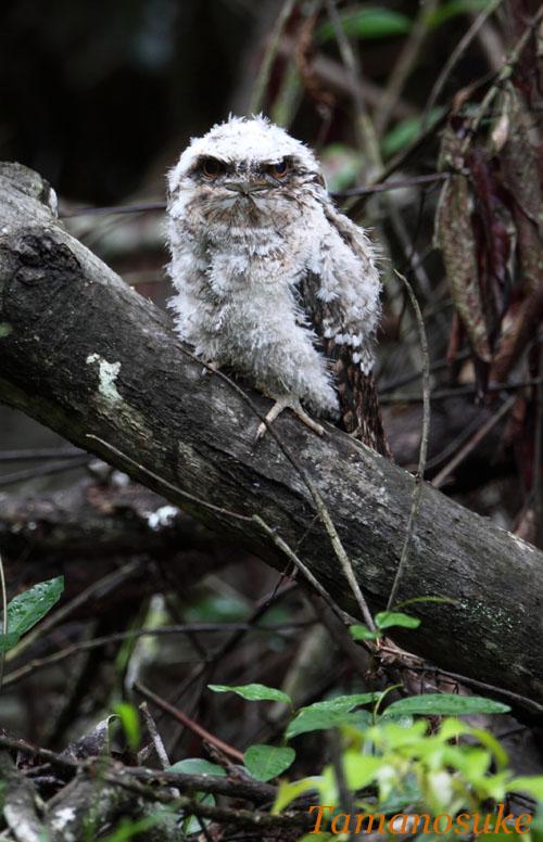 Tamanosuke -Papuan_Frogmouth_22