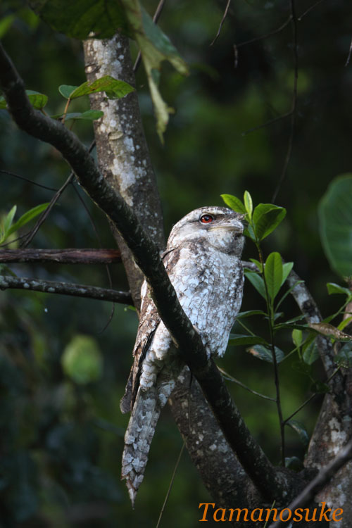 Tamanosuke -Papuan_Frogmouth_23